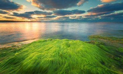 Algae Produces Oil