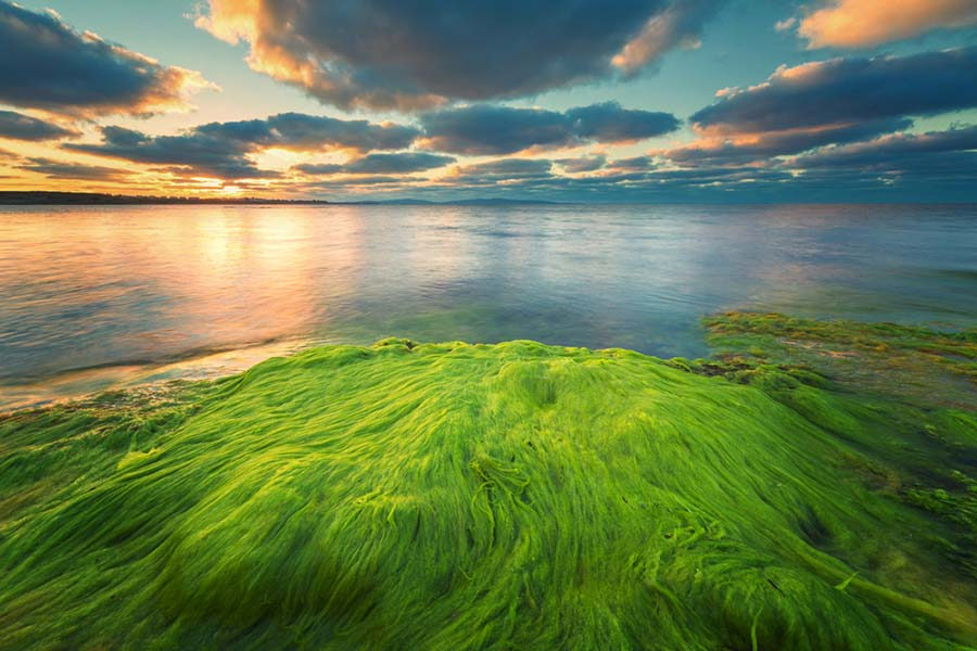 photograph of an algae bloom on the ocean