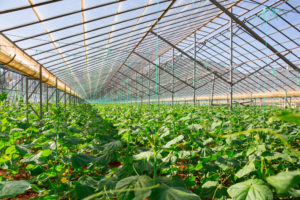 Greenhouses are vital to China's urban farms.