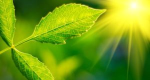 Green Leaf with glowing sun behind.
