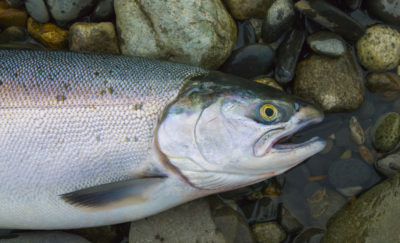 Cargill is involved with Salmon