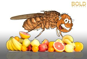 Fruit fly cartoon with old man head. An illustration to the secrets of longevity study.