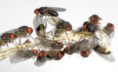 Life Extension thru fruit fly research.