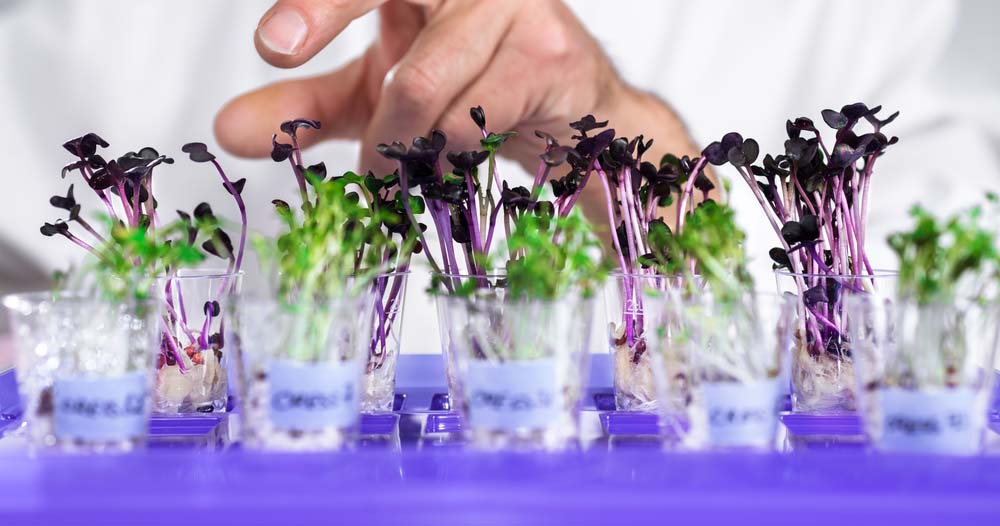 Lab farming of watercress