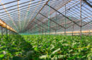 long view of plants growing in a greenhouse