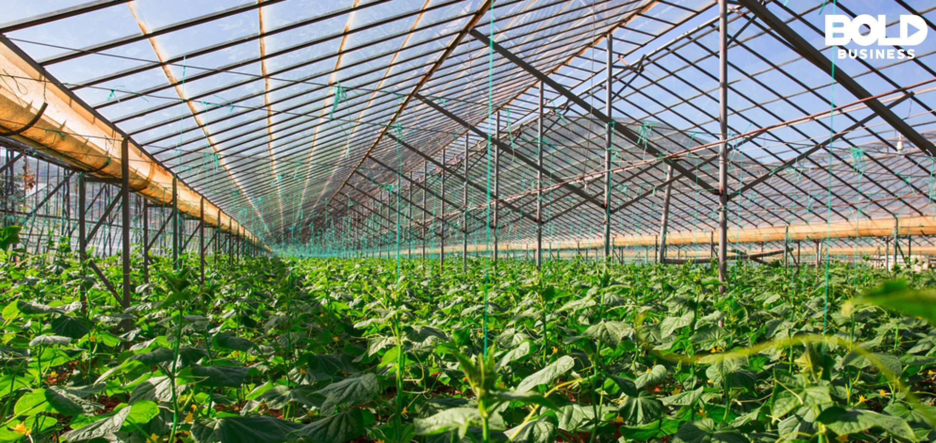 a photo of a long view of plants growing in a greenhouse with LUMO solar panels on its roof
