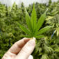Cannabis Drug feature imageFDA Approves Epidiolex, The First Cannabis Drug in the US