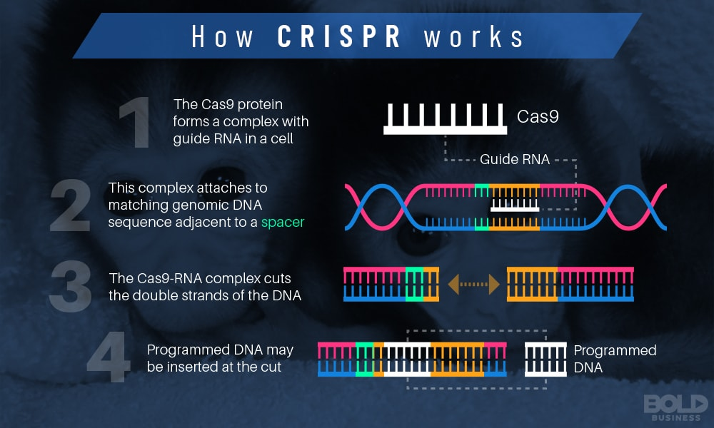 how CRSPR works through gene editing technology infographic