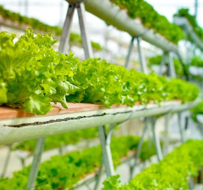 indoor agriculture, a line of green vegetables