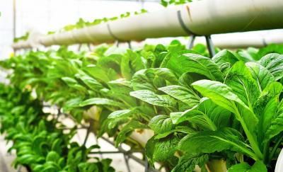 aquaponics system, green leafy plants lined up