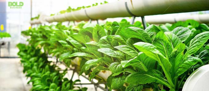 aquaponics system, green leafy plants lined up