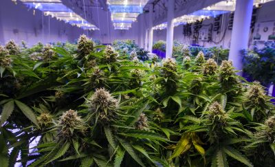 The-Real-Winner-of-the-Pandemic-Was-Cannabis-Featured-I