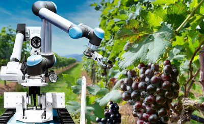 A robot picking only the best grapes for wine